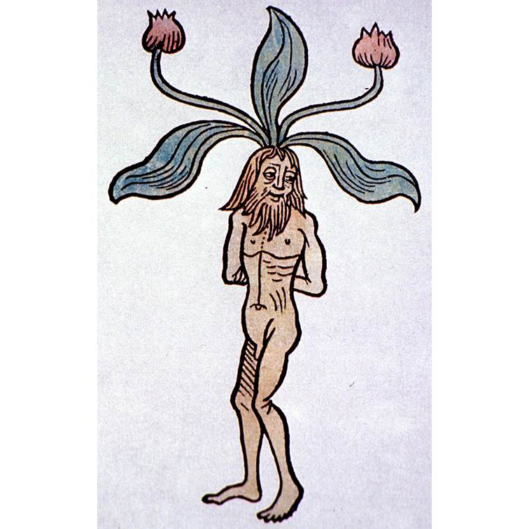The Mandrake Root